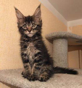 Предлагаются шикарные котята Мейн-Кун