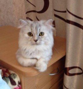 Кошка 1,5 года шотландская длинношёрстная шиншилла