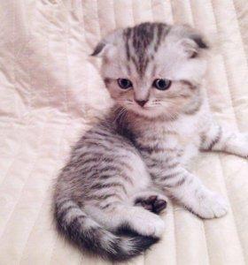 Продам вислоухого котёнка вискас