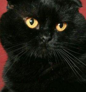 Веслоухий шатландский кот