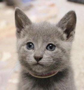 Котята русская голубая