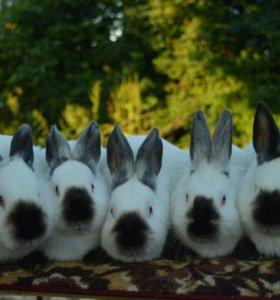 Калифорннийские кролики