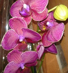 Орхидея Фаленопсис Kimono