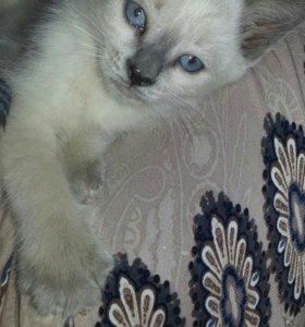 Продается сеамский котенок.
