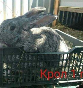 Продам крола