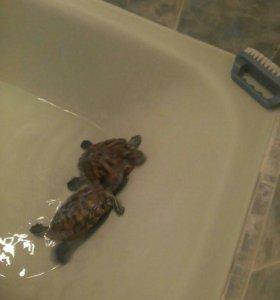 Продам две черепахи с аквариумом срочно