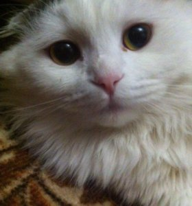 Кот (шотландец вислоухий)