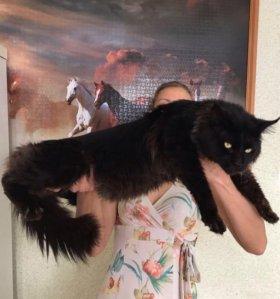 Котята Мейн- кун