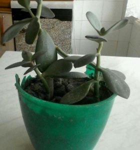 Три цветка денежного дерева,срочно надо пересажива