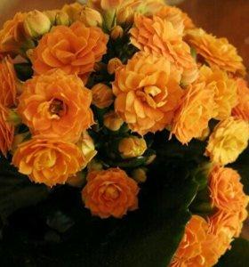 Цветок каланхое тисенто