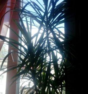 Продаются отростки пальмы