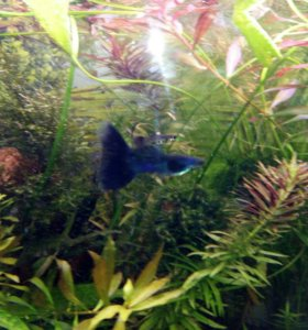 Гуппи московские синие по 2-3 см