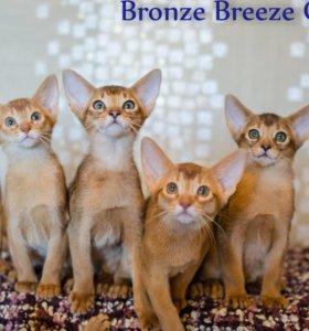 Абиссинские котята от элитных производителей