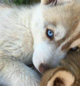 Щенки Сибирский Хаски (РКФ)-голубые глаза
