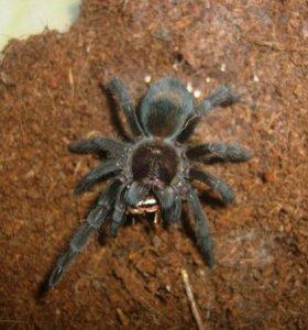 grammostola pulchra паук птицеед