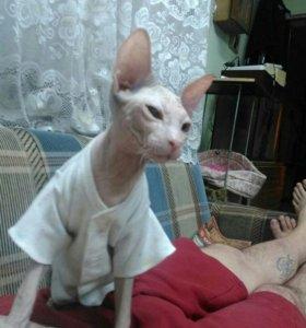 Кошечка Донской сфинкс.