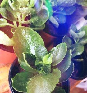 Продам укоренённые домашние растения