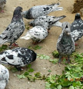 Голуби бойные бакинцы мраморные и Чили