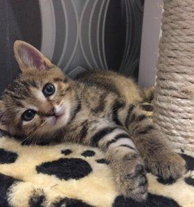 Котёнок мальчик от британской кошки