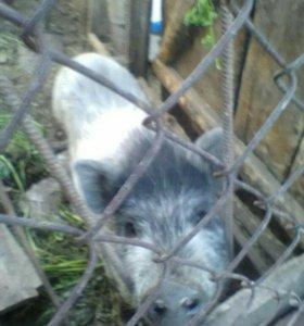 Продам вьетнамскую свинью (возможен торг)
