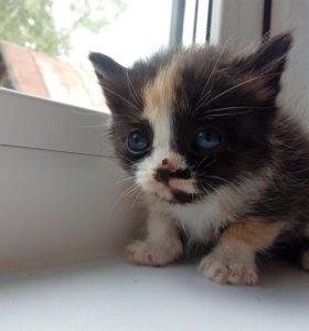 Котята от британской кошки.