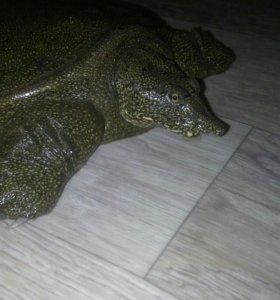 Свинорылая черепаха