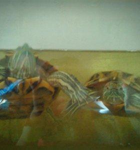 Краснухие черепахи