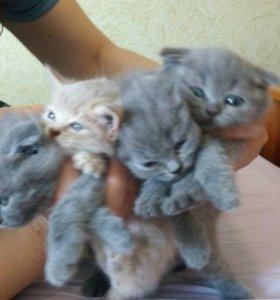 Полуторомесячные котята
