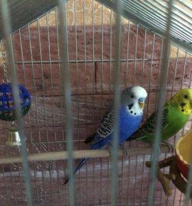 2 попугая в клетке