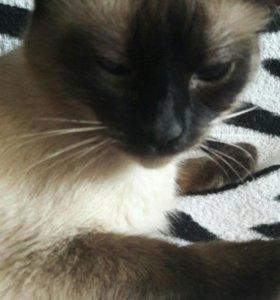 Кошка Сиамская Маркиза