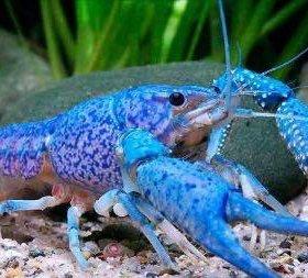 Флоридские раки (синие)