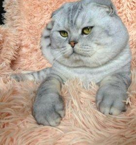 Вязка с опытным шотландским котом