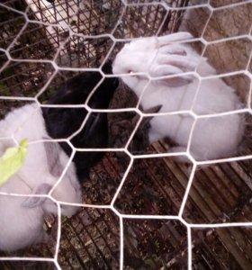 Кролики великан+шиншилла порода.