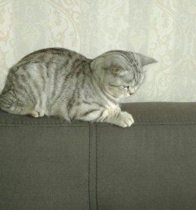 Шотландская кошка 1,5 года