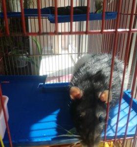 Крыса домашняя с клеткой