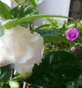 Цветок  ТАБЕРНЕ МОНТАНА
