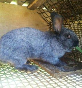 Распродажа кроликов полтавское серебро