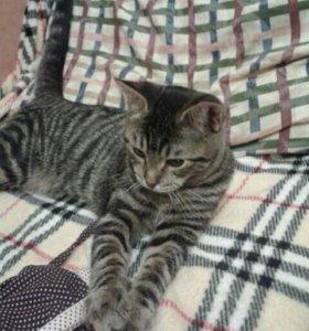 Красивый котенок-мальчик 5 мес. тигрового окраса