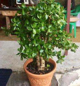 ✅Большой цветок (Денежное дерево)