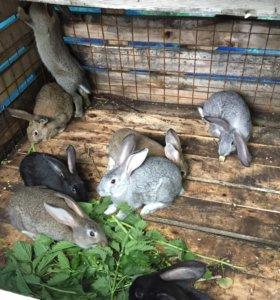 Кролики домашние