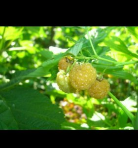 Малина, саженец,корни,ягода в сезон.