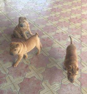 Собаки , порода Шарпей