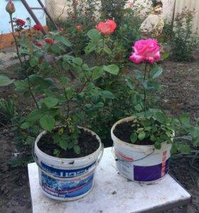 Розы на высадку