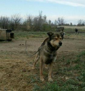 Большие собаки для охраны территории