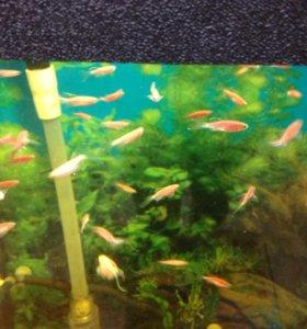 Аквариумные рыбки данио, креветки