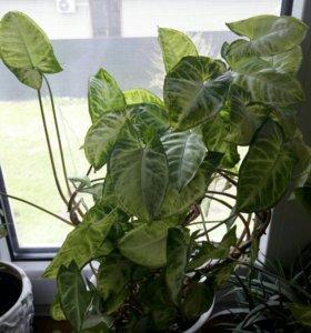 Комнатное растение-Сингониум