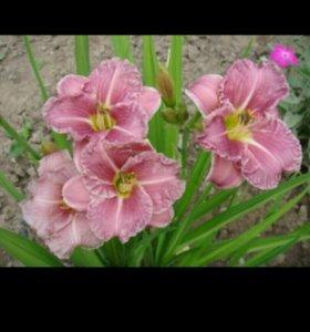 Цветы, многолетники,растения,корни, лилейники