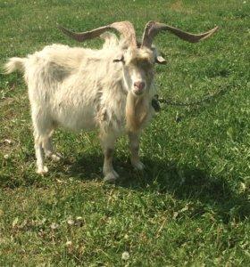 Продам необычайное животное)природного козла