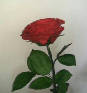 Вечно цветущая роза