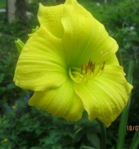 Лилейник лимонный
